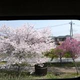 sakuramatsuri0401a6.JPG