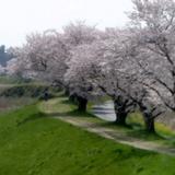 sakuramatsuri0401a7.JPG