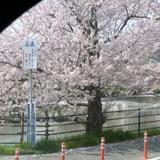sakuramatsuri0401a8.JPG