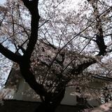 sakuramatsuri0401b2.JPG