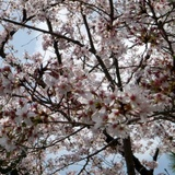 sakuramatsuri0401b3.JPG