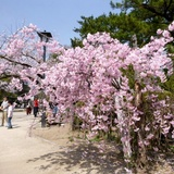 sakuramatsuri0401b5.JPG