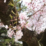 sakuramatsuri0401b6.JPG