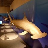 sharks0113e6.JPG